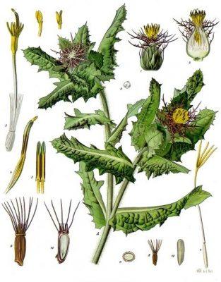 chardon béni plante galactogène